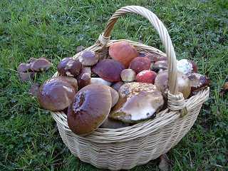 Nouvelles Gastronomie  La cueillette des champignons, ce qu'il faut savoir :